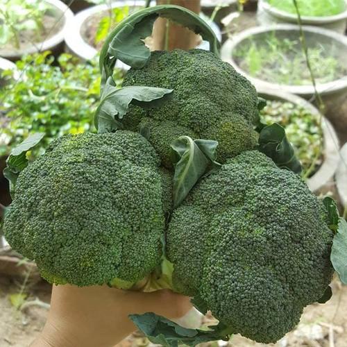 Hạt giống rau mầm súp lơ xanh giá rẻ - 12919760 , 20895799 , 15_20895799 , 14000 , Hat-giong-rau-mam-sup-lo-xanh-gia-re-15_20895799 , sendo.vn , Hạt giống rau mầm súp lơ xanh giá rẻ