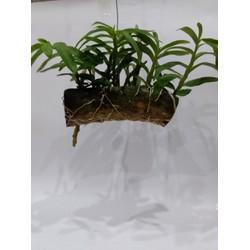 Phong lan trầm tím ghep gỗ