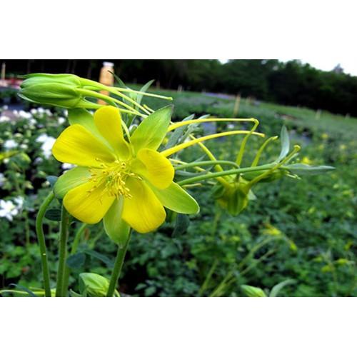 Hạt giống hoa Cỏ bồ câu - Gói 30 hạt - 12977300 , 20973329 , 15_20973329 , 9000 , Hat-giong-hoa-Co-bo-cau-Goi-30-hat-15_20973329 , sendo.vn , Hạt giống hoa Cỏ bồ câu - Gói 30 hạt