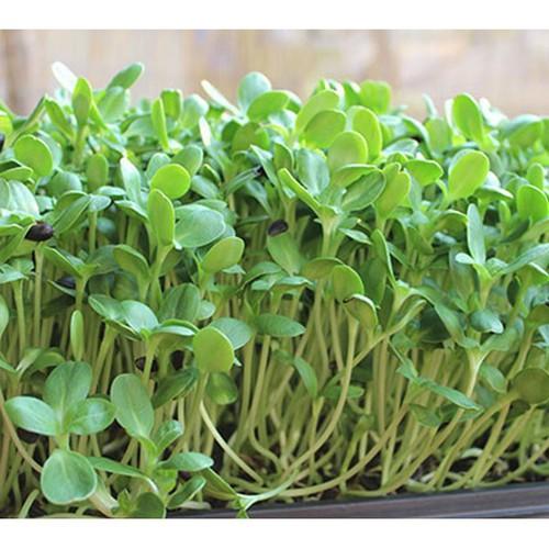 Combo 3 gói hạt giống rau mầm cải xoong
