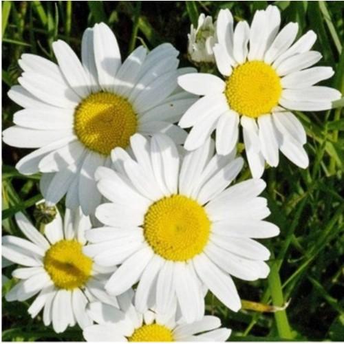 Hạt giống hoa cúc trắng - gói 30 hạt - 13031998 , 21059884 , 15_21059884 , 9000 , Hat-giong-hoa-cuc-trang-goi-30-hat-15_21059884 , sendo.vn , Hạt giống hoa cúc trắng - gói 30 hạt