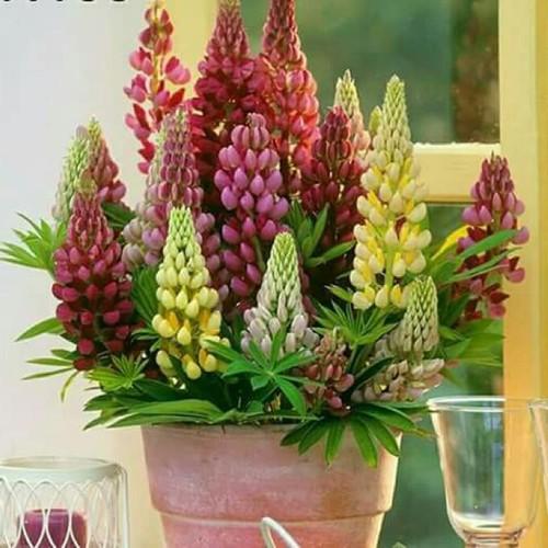 Combo 3 gói hạt giống hoa đậu lupin mix
