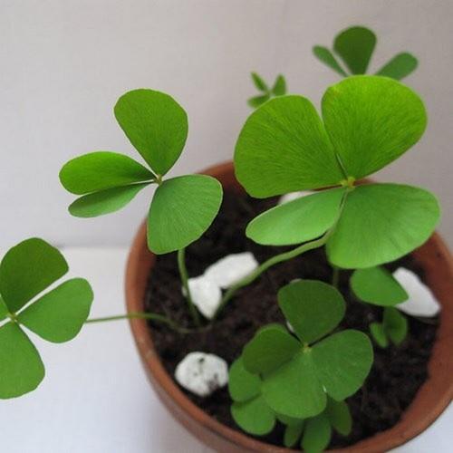 Combo 5 gói hạt giống cỏ ba lá chất lượng cao