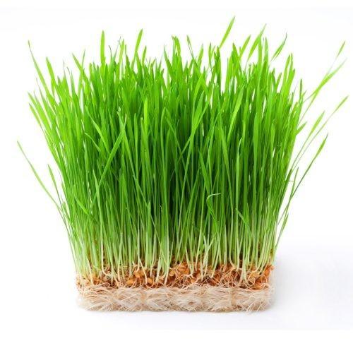 Gói 1kg hạt giống mầm lúa mạch - đại mạch - 12902832 , 21202213 , 15_21202213 , 99000 , Goi-1kg-hat-giong-mam-lua-mach-dai-mach-15_21202213 , sendo.vn , Gói 1kg hạt giống mầm lúa mạch - đại mạch
