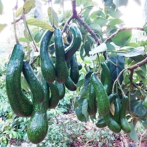 Cây giống bơ sáp da xanh trái dài - 13131656 , 21210020 , 15_21210020 , 150000 , Cay-giong-bo-sap-da-xanh-trai-dai-15_21210020 , sendo.vn , Cây giống bơ sáp da xanh trái dài