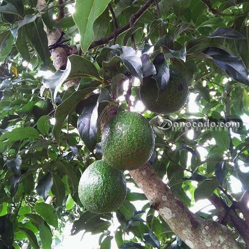 Cây giống bơ chín muộn - 13132139 , 21210572 , 15_21210572 , 150000 , Cay-giong-bo-chin-muon-15_21210572 , sendo.vn , Cây giống bơ chín muộn