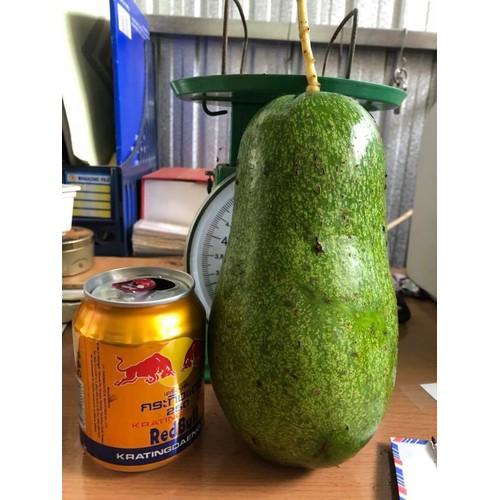 Cây giống bơ trái mùa - 13132467 , 21210938 , 15_21210938 , 150000 , Cay-giong-bo-trai-mua-15_21210938 , sendo.vn , Cây giống bơ trái mùa
