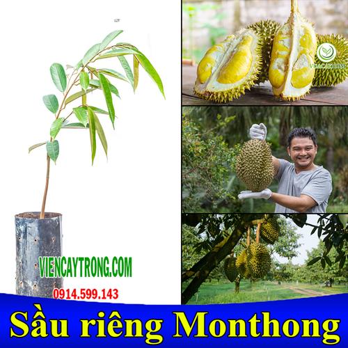 Cây giống sầu riêng monthong thái lan