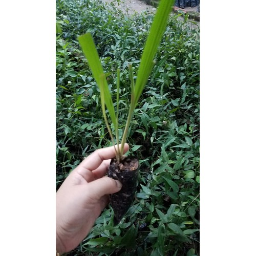 Cây giống sâm đại hành bổ máu nhiều công dụng combo 10 cây - 13087322 , 21196123 , 15_21196123 , 149000 , Cay-giong-sam-dai-hanh-bo-mau-nhieu-cong-dung-combo-10-cay-15_21196123 , sendo.vn , Cây giống sâm đại hành bổ máu nhiều công dụng combo 10 cây
