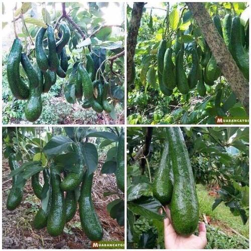 Cây giống bơ sáp trái dài - 13140110 , 21221495 , 15_21221495 , 150000 , Cay-giong-bo-sap-trai-dai-15_21221495 , sendo.vn , Cây giống bơ sáp trái dài