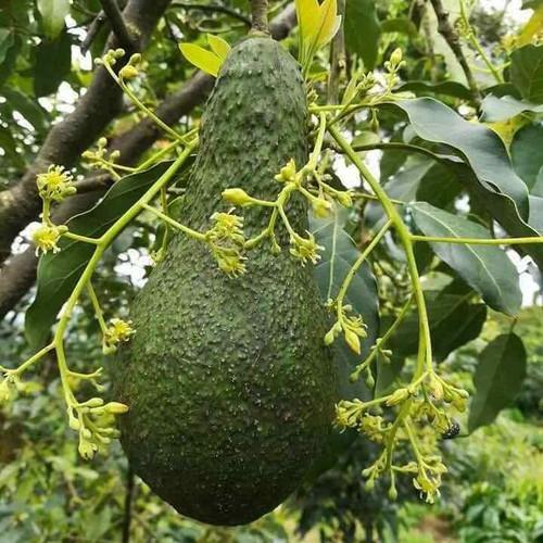 Cây giống bơ chín muộn - 13140067 , 21221451 , 15_21221451 , 150000 , Cay-giong-bo-chin-muon-15_21221451 , sendo.vn , Cây giống bơ chín muộn