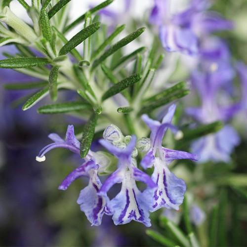 Hạt giống cây hương thảo  giá rẻ - 13180592 , 21275837 , 15_21275837 , 20000 , Hat-giong-cay-huong-thao-gia-re-15_21275837 , sendo.vn , Hạt giống cây hương thảo  giá rẻ