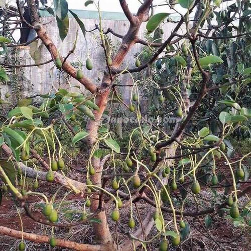 Cây giống bơ fuerte - 13139681 , 21221047 , 15_21221047 , 170000 , Cay-giong-bo-fuerte-15_21221047 , sendo.vn , Cây giống bơ fuerte
