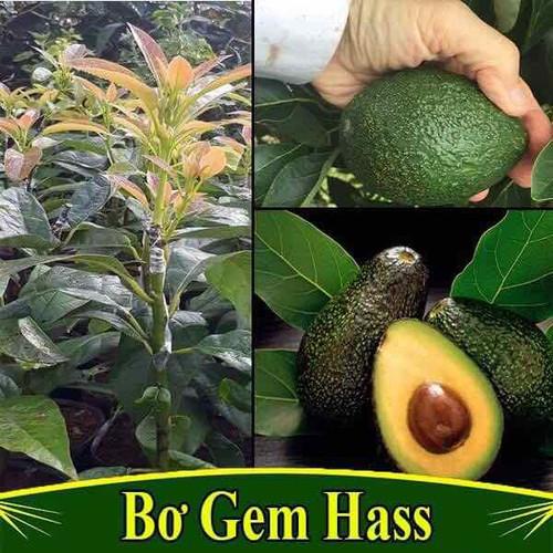 Cây giống bơ gem hass - 13139876 , 21221248 , 15_21221248 , 220000 , Cay-giong-bo-gem-hass-15_21221248 , sendo.vn , Cây giống bơ gem hass