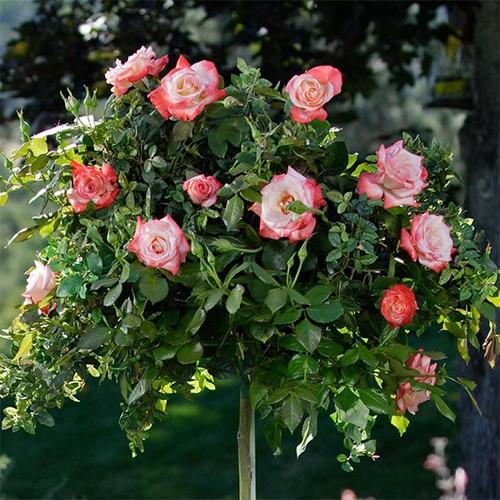 Combo 5 gói Hạt giống hoa hồng thân gỗ chất lượng cao - 11385266 , 21217023 , 15_21217023 , 94000 , Combo-5-goi-Hat-giong-hoa-hong-than-go-chat-luong-cao-15_21217023 , sendo.vn , Combo 5 gói Hạt giống hoa hồng thân gỗ chất lượng cao