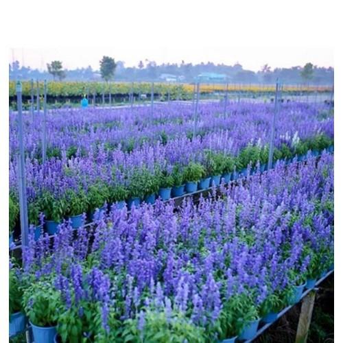 25 hạt giống hoa xác pháo xanh