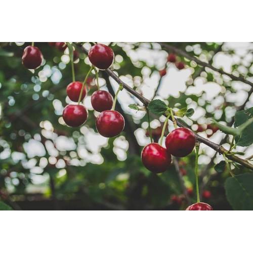 Cây giống cherry mỹ - 13200006 , 21302957 , 15_21302957 , 180000 , Cay-giong-cherry-my-15_21302957 , sendo.vn , Cây giống cherry mỹ
