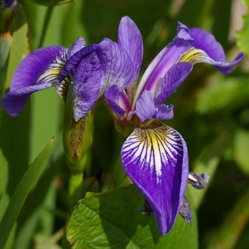 Hạt giống hoa diên vĩ xanh - 12481588 , 21285587 , 15_21285587 , 24000 , Hat-giong-hoa-dien-vi-xanh-15_21285587 , sendo.vn , Hạt giống hoa diên vĩ xanh