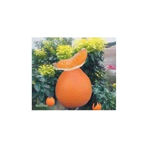 Cây giống bưởi vàng phúc kiến - 13195960 , 21296991 , 15_21296991 , 160000 , Cay-giong-buoi-vang-phuc-kien-15_21296991 , sendo.vn , Cây giống bưởi vàng phúc kiến