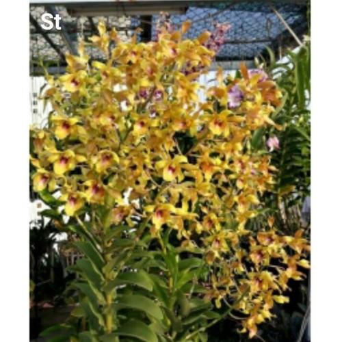 dendro bo vàng hoa thơm nhẹ cây giống - 11858567 , 21300091 , 15_21300091 , 40000 , dendro-bo-vang-hoa-thom-nhe-cay-giong-15_21300091 , sendo.vn , dendro bo vàng hoa thơm nhẹ cây giống
