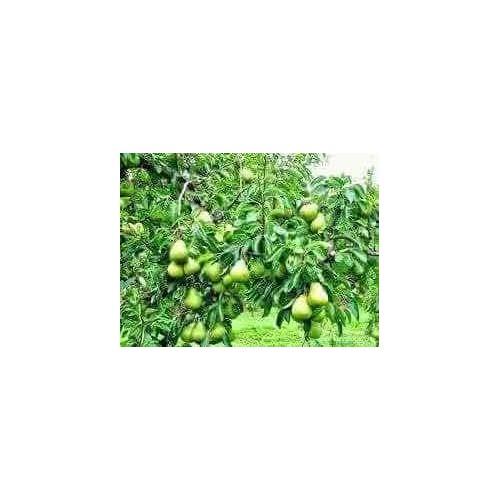 cây giống lê vàng - 11644046 , 21296882 , 15_21296882 , 160000 , cay-giong-le-vang-15_21296882 , sendo.vn , cây giống lê vàng