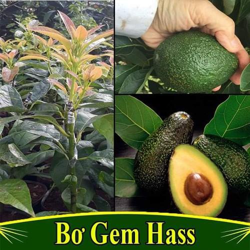 Cây giống bơ gem hass - 17478403 , 21341217 , 15_21341217 , 220000 , Cay-giong-bo-gem-hass-15_21341217 , sendo.vn , Cây giống bơ gem hass