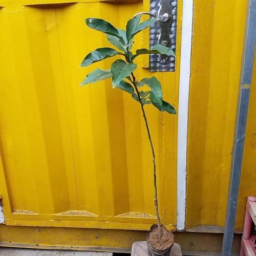Combo 5 cây giống bưởi đỏ phúc kiến chuẩn f1 - 12639411 , 20492178 , 15_20492178 , 350000 , Combo-5-cay-giong-buoi-do-phuc-kien-chuan-f1-15_20492178 , sendo.vn , Combo 5 cây giống bưởi đỏ phúc kiến chuẩn f1