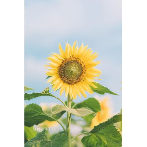 [Mới về, nảy mầm cực tốt] Gói 30 hạt giống hoa hướng dương thân cao nhuỵ vàng siêu bông - 11634314 , 20510048 , 15_20510048 , 20000 , Moi-ve-nay-mam-cuc-tot-Goi-30-hat-giong-hoa-huong-duong-than-cao-nhuy-vang-sieu-bong-15_20510048 , sendo.vn , [Mới về, nảy mầm cực tốt] Gói 30 hạt giống hoa hướng dương thân cao nhuỵ vàng siêu bông