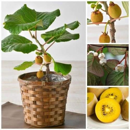 Hạt giống cây kiwi