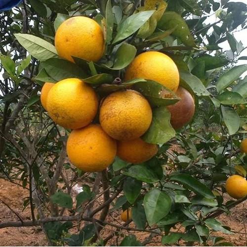 Cây giống cam vinh - 12734226 , 20631332 , 15_20631332 , 50000 , Cay-giong-cam-vinh-15_20631332 , sendo.vn , Cây giống cam vinh