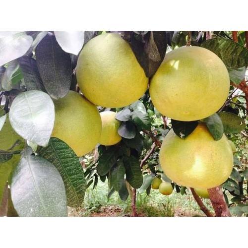Cây giống bưởi vàng phúc kiến - 17490502 , 21360045 , 15_21360045 , 160000 , Cay-giong-buoi-vang-phuc-kien-15_21360045 , sendo.vn , Cây giống bưởi vàng phúc kiến