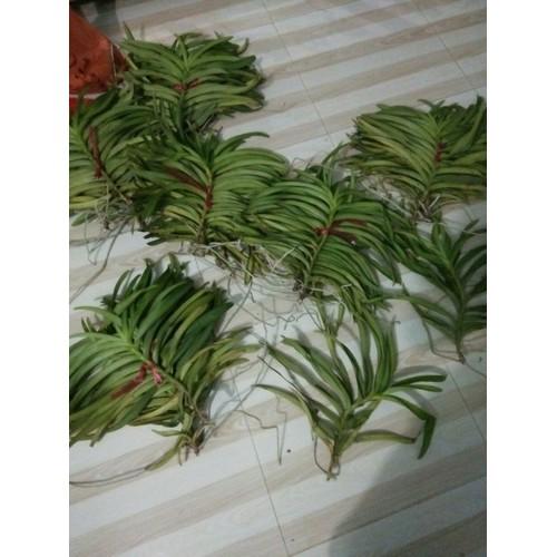 Lan mokara giống cắt cành 5 cây - 13415671 , 21633827 , 15_21633827 , 150000 , Lan-mokara-giong-cat-canh-5-cay-15_21633827 , sendo.vn , Lan mokara giống cắt cành 5 cây
