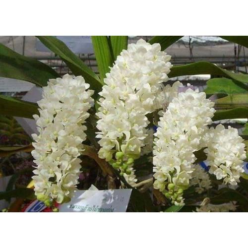 5 cây giống lan hoa ngọc điểm