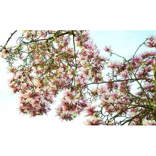 Cây giống hoa mộc lan