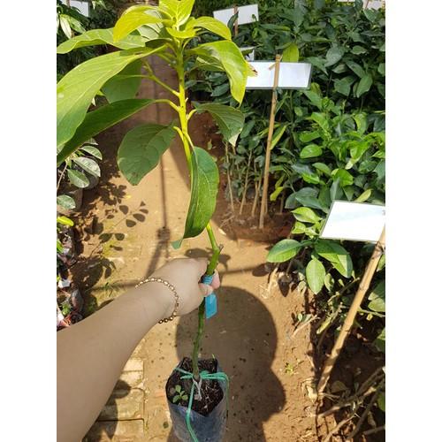 Cây giống bơ 034 dầu dòng quả dài hạt lép dễ trồng nhanh thu hoạch - 19326813 , 21675816 , 15_21675816 , 79000 , Cay-giong-bo-034-dau-dong-qua-dai-hat-lep-de-trong-nhanh-thu-hoach-15_21675816 , sendo.vn , Cây giống bơ 034 dầu dòng quả dài hạt lép dễ trồng nhanh thu hoạch