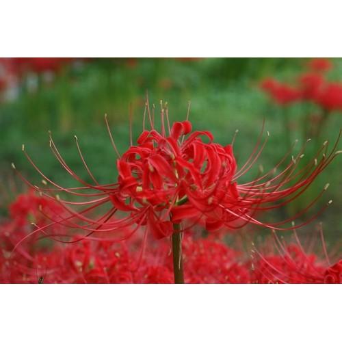 Combo 3 củ giống hoa bỉ ngạn hoa màu đỏ _kèm 3 viên nén kích ươm củ nhanh nảy mầm - 19329633 , 21681625 , 15_21681625 , 70000 , Combo-3-cu-giong-hoa-bi-ngan-hoa-mau-do-_kem-3-vien-nen-kich-uom-cu-nhanh-nay-mam-15_21681625 , sendo.vn , Combo 3 củ giống hoa bỉ ngạn hoa màu đỏ _kèm 3 viên nén kích ươm củ nhanh nảy mầm