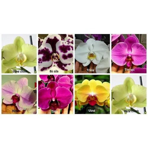 5 cây giống lan hồ điệp - 13438771 , 21692970 , 15_21692970 , 220000 , 5-cay-giong-lan-ho-diep-15_21692970 , sendo.vn , 5 cây giống lan hồ điệp