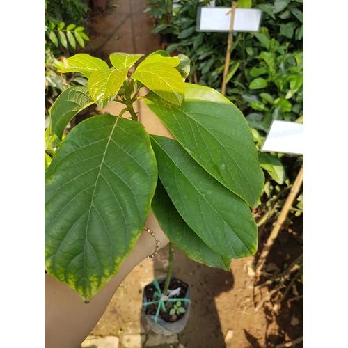 Cây giống bơ booth 7 dòng đặc sản nên trồng - 19326736 , 21675714 , 15_21675714 , 69000 , Cay-giong-bo-booth-7-dong-dac-san-nen-trong-15_21675714 , sendo.vn , Cây giống bơ booth 7 dòng đặc sản nên trồng