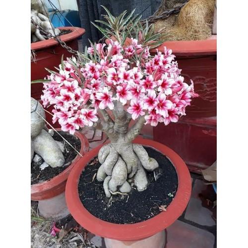 5 cây giống hoa sứ thái lan