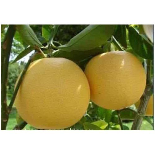 Cây giống bưởi đỏ phúc kiến - 13446146 , 21701234 , 15_21701234 , 160000 , Cay-giong-buoi-do-phuc-kien-15_21701234 , sendo.vn , Cây giống bưởi đỏ phúc kiến