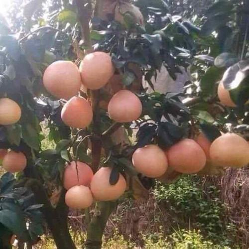 Cây giống bưởi đỏ phúc kiến - 13449130 , 21704417 , 15_21704417 , 180000 , Cay-giong-buoi-do-phuc-kien-15_21704417 , sendo.vn , Cây giống bưởi đỏ phúc kiến
