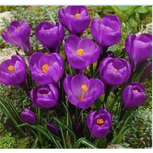 Bộ 3 củ giống hoa nghệ tây hoa màu tím _ 3 củ tặng kèm 3 viên nén ươm củ - 13450412 , 21705830 , 15_21705830 , 65000 , Bo-3-cu-giong-hoa-nghe-tay-hoa-mau-tim-_-3-cu-tang-kem-3-vien-nen-uom-cu-15_21705830 , sendo.vn , Bộ 3 củ giống hoa nghệ tây hoa màu tím _ 3 củ tặng kèm 3 viên nén ươm củ