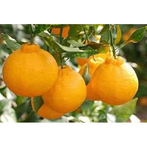Cây giống cam