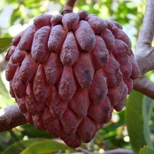 Cây giống na đỏ - 13459236 , 21715944 , 15_21715944 , 180000 , Cay-giong-na-do-15_21715944 , sendo.vn , Cây giống na đỏ