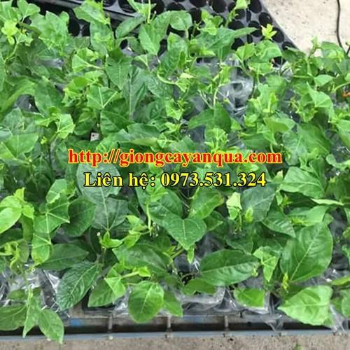 Cung cấp giống cây chanh leo đài loan - vườn ươm cây giống học viện nông nghiêp viêt nam