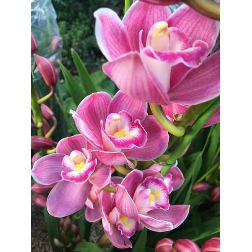Củ hoa địa lan santo màu hồng