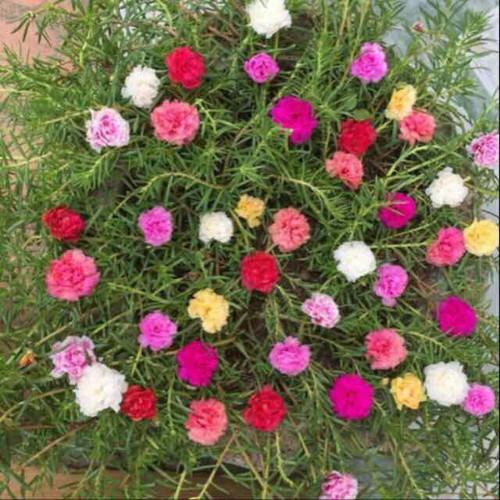 Combo 5 bó cây giống hoa 10 giờ - 16994654 , 21791106 , 15_21791106 , 50000 , Combo-5-bo-cay-giong-hoa-10-gio-15_21791106 , sendo.vn , Combo 5 bó cây giống hoa 10 giờ