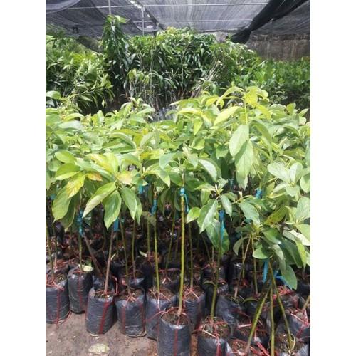 Giống cây  bơ booth 7 - 17528127 , 21787468 , 15_21787468 , 150000 , Giong-cay-bo-booth-7-15_21787468 , sendo.vn , Giống cây  bơ booth 7