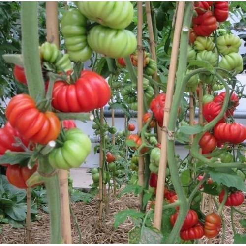 Hạt giống cà chua bí ngô
