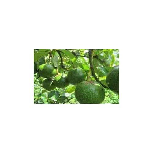 Cây giống bơ bôth 7 - 17533865 , 21795519 , 15_21795519 , 170000 , Cay-giong-bo-both-7-15_21795519 , sendo.vn , Cây giống bơ bôth 7